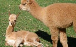 Fair Winds Alpacas